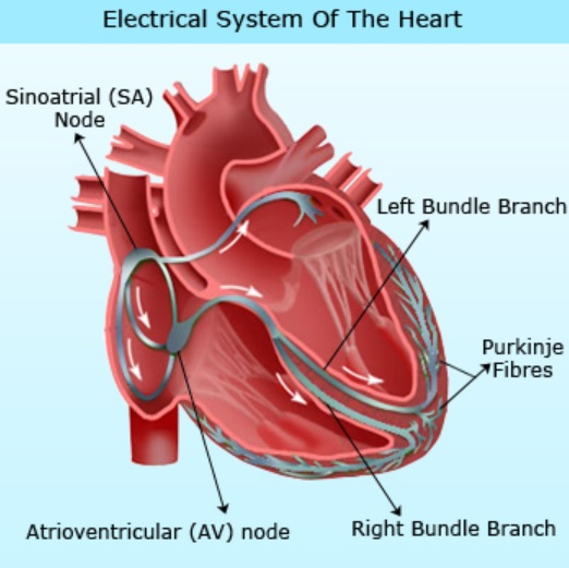 Heart conduction